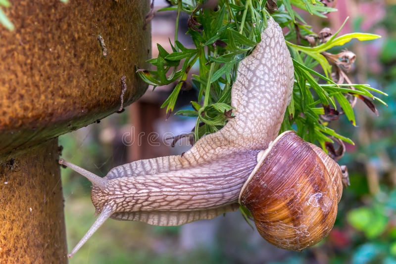 Garden snail slide on garden leafs, upside down stock image