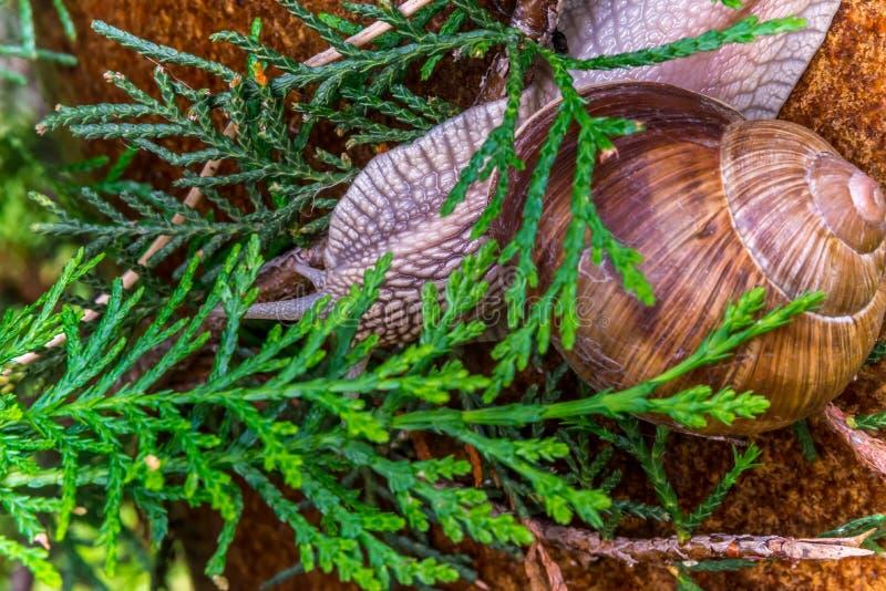 Garden snail slide on garden pillar, upside down covered by thuja leaf royalty free stock images