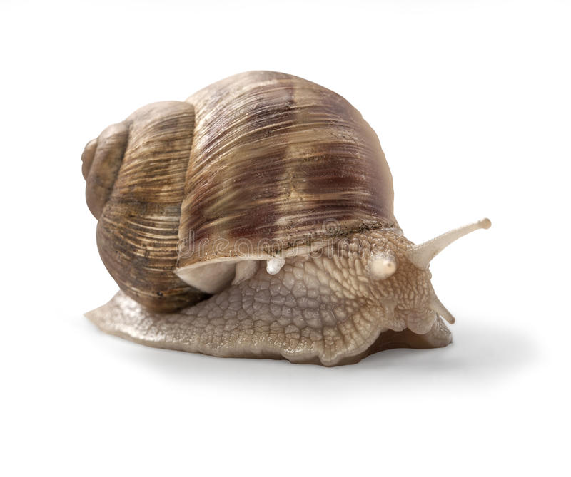 Garden snail. On white background with clipping path stock photos
