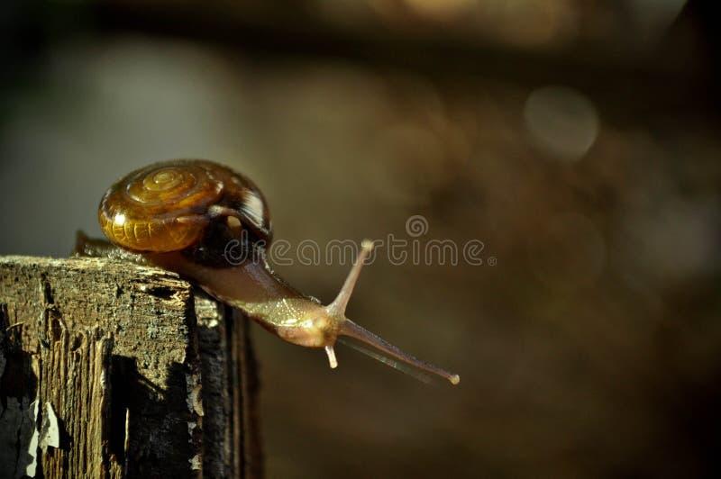 Garden Snail In The Yard royalty free stock photo