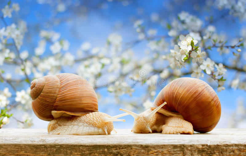 Garden snails closeup flowering cherry spring. Background stock image