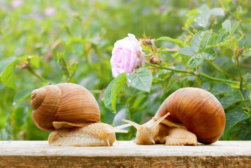 Garden snails closeup rose wet spring. Background stock photo
