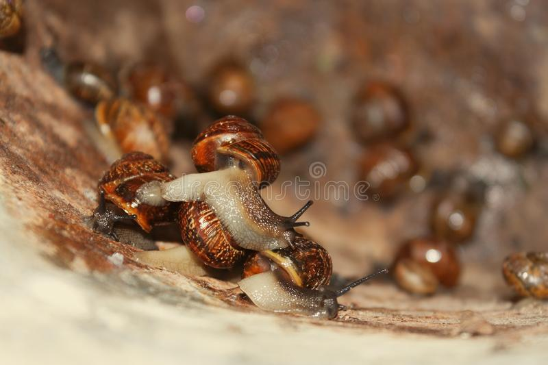 Group of the garden snails. In the old metal bucket in the rainy summer stock photos