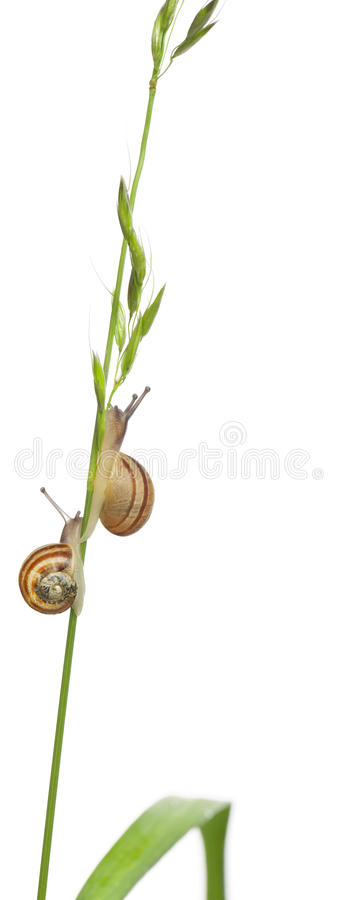 Garden snails, Helix aspersa. Climbing stem in front of white background royalty free stock image