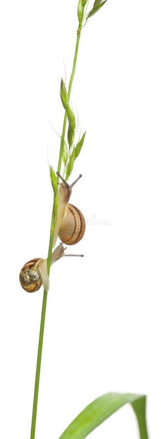 Garden snails, climbing stem in front of white background. Garden snails, Helix aspersa, climbing stem in front of white background stock photos