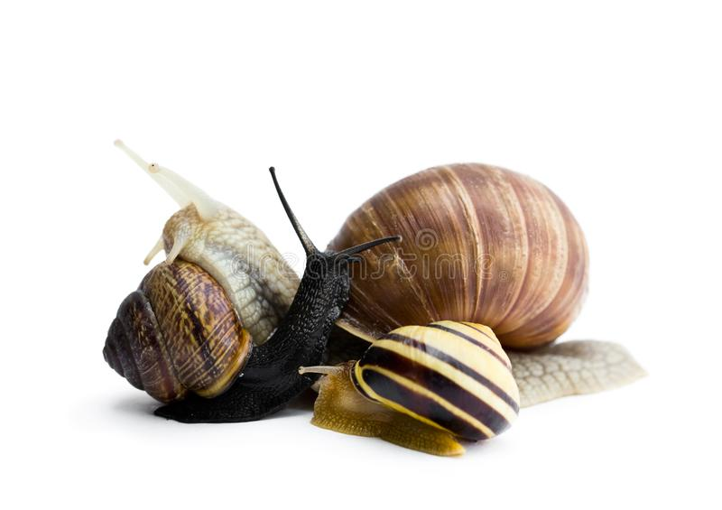 Garden snails isolated on white royalty free stock image