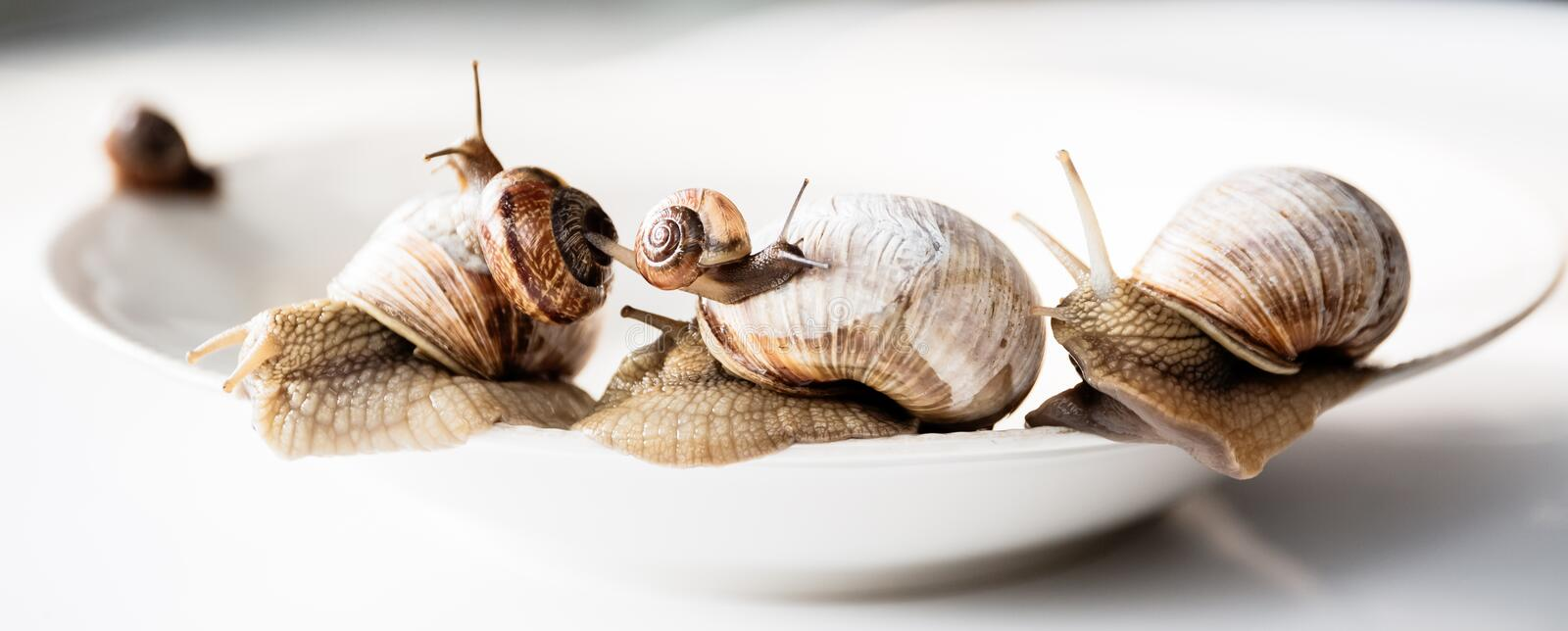 Garden snails isolated on white background. Several garden snails isolated on white background, gourmet living delicacies royalty free stock photography