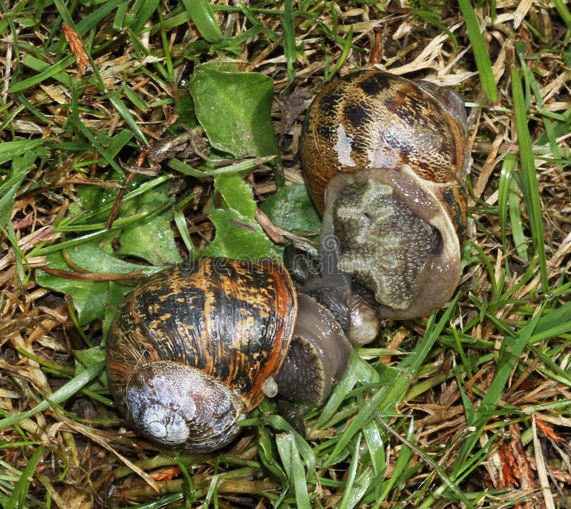 Garden snails mating. Garden snails mating in grass of house lawn royalty free stock images