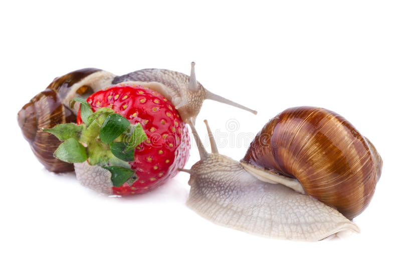 Garden snails. And strawberry on white background stock images