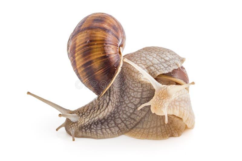 Garden snails. Two garden snails Helix aspersa isolated on white background. Teamwork concept stock image