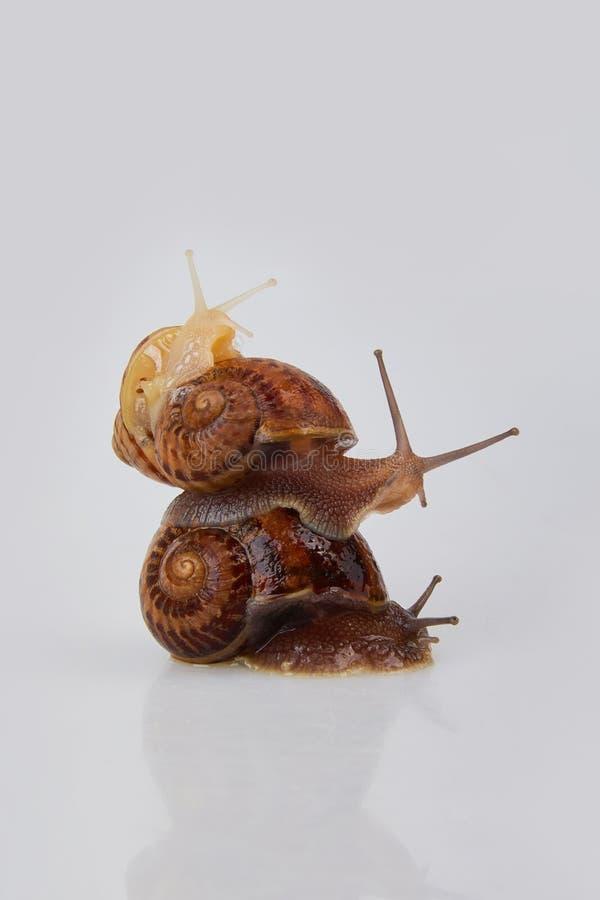 Garden Snails on a white background. Studio shot. Helix Aspersa Muller, Maxima Snail, Organic Farming, Snail Farming. Mollusk snail with brown striped shell stock photos