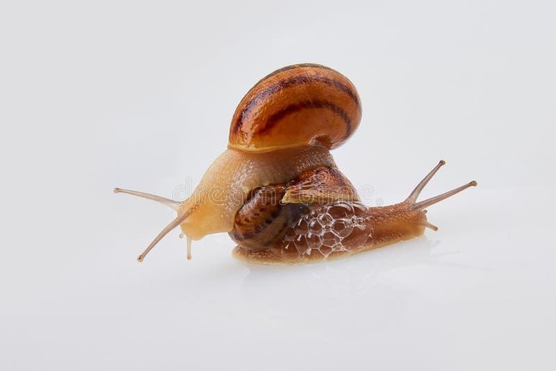 Garden Snails on a white background. Studio shot. Helix Aspersa Muller, Maxima Snail, Organic Farming, Snail Farming. Mollusk snail with brown striped shell stock image