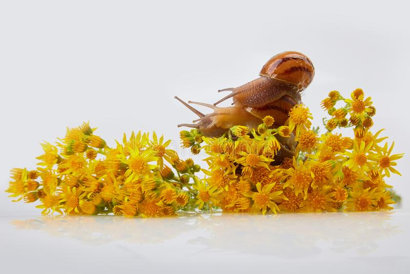 Garden Snails on yellow flowers of Jacobaea vulgaris on  a white background. Studio shot. Helix Aspersa Muller, Maxima Snail, Organic Farming, Snail Farming stock photos