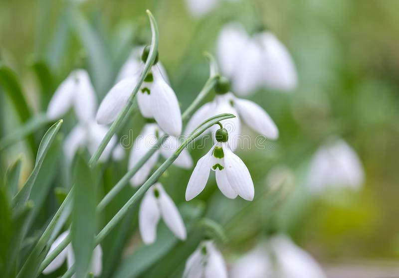 Garden of Snowdrops 3 royalty free stock photography