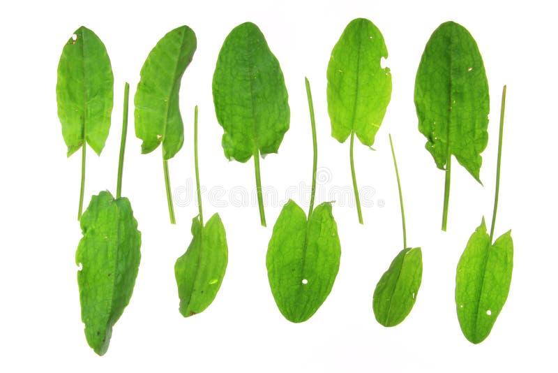 Garden Sorrel (Rumex Acetosa) Stock Photos