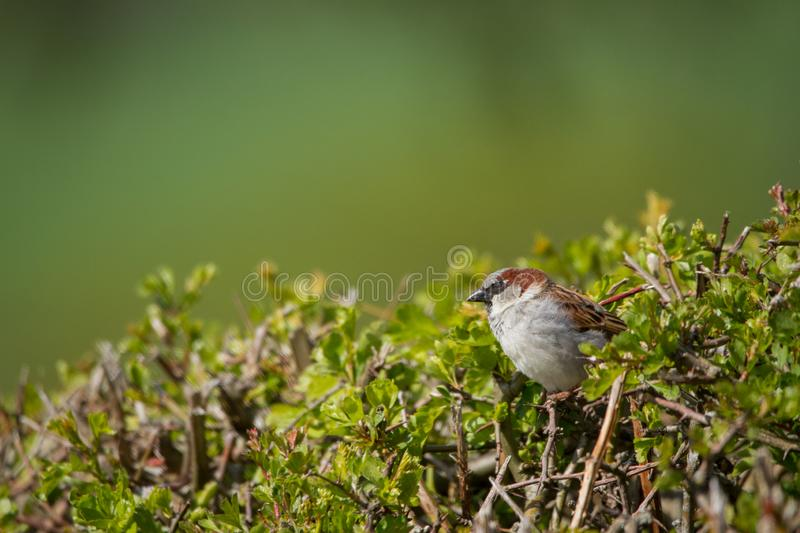Garden sparrow in the bush stock images