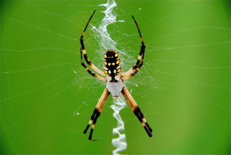 Download Garden Spider stock image. Image of black, garden, spider - 11197535