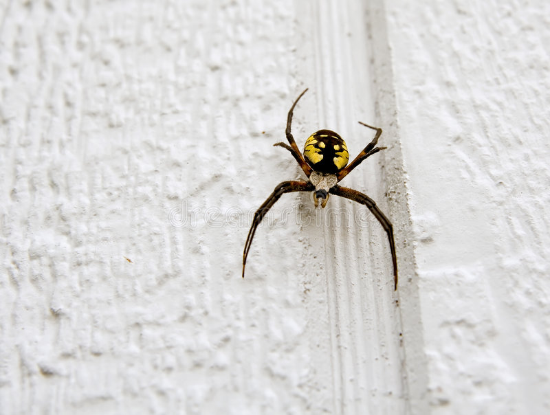 Download Garden Spider Royalty Free Stock Photos - Image: 3443638