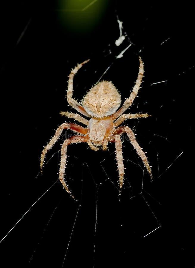 A Garden spider stock photos