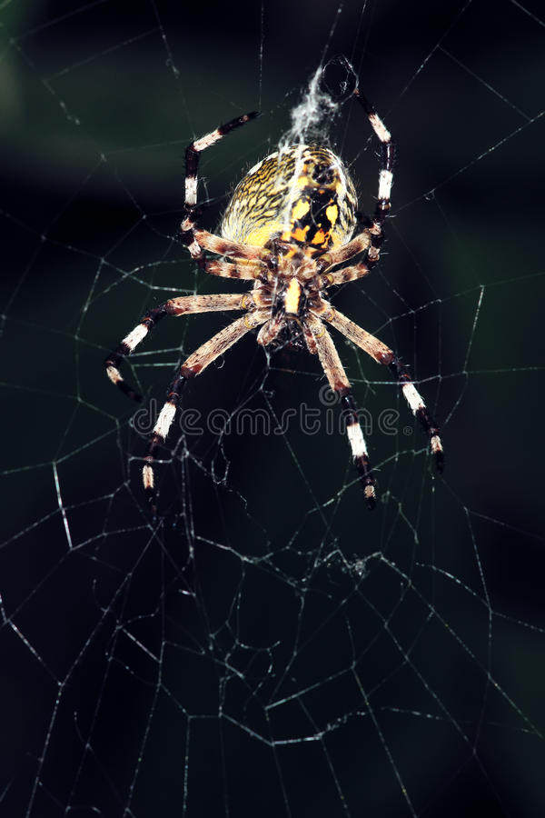 Garden spider. The close-up of a big garden spider on its cobweb royalty free stock photography