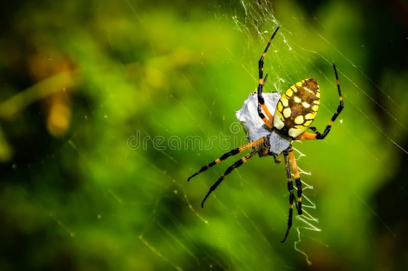 Garden Spider. A garden spider with trapped pray royalty free stock photos
