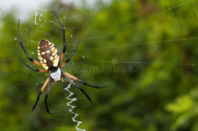 Garden spider on a web. A black and yellow garden spider on a web