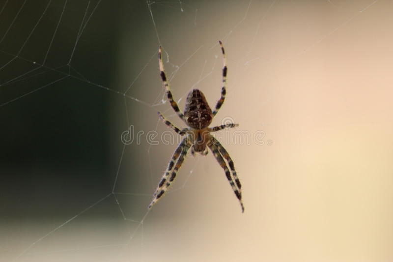Garden spider on web. Europien garden spider, Araneus diadematus, eating a fly in fron of the window, in the netherlands stock photography