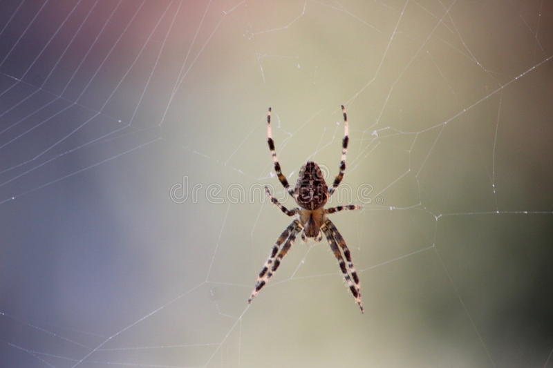 Garden spider on web. Europien garden spider, Araneus diadematus, eating a fly in fron of the window, in the netherlands royalty free stock images