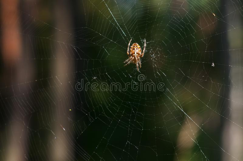 Garden spider on web. royalty free stock images