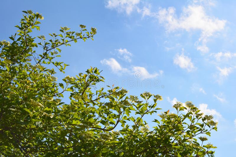 Garden in spring. Blooming shrub of viburnum on the background of blue sky with white clouds.  royalty free stock image