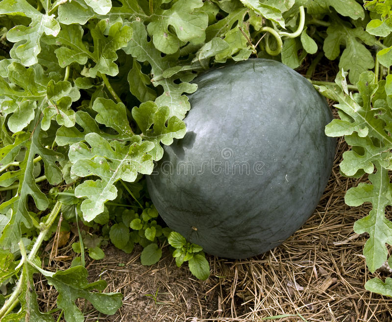 Download Garden squash stock photo. Image of ripe, garden, plant - 26641796