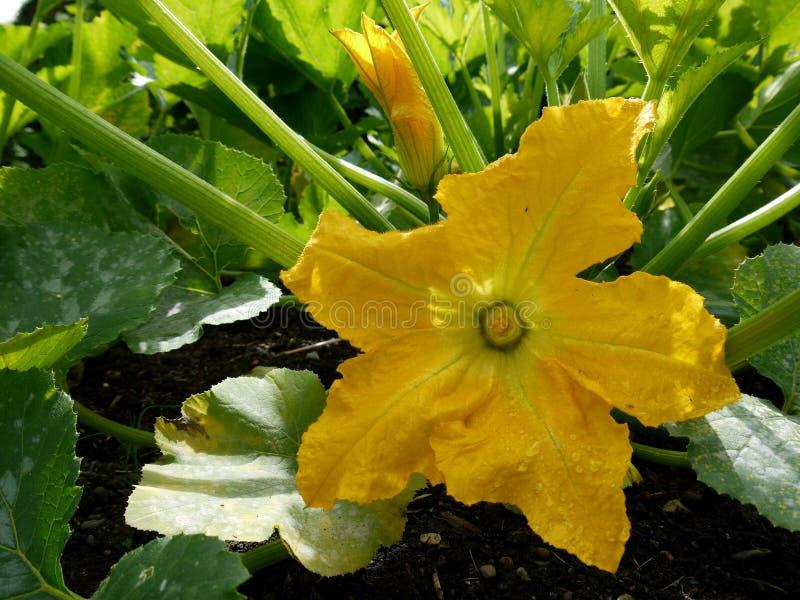 Garden: squash flower - h royalty free stock image