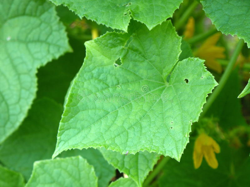 Download Vegetable Garden: Squash Leaves And Flower Stock Image - Image: 20437755