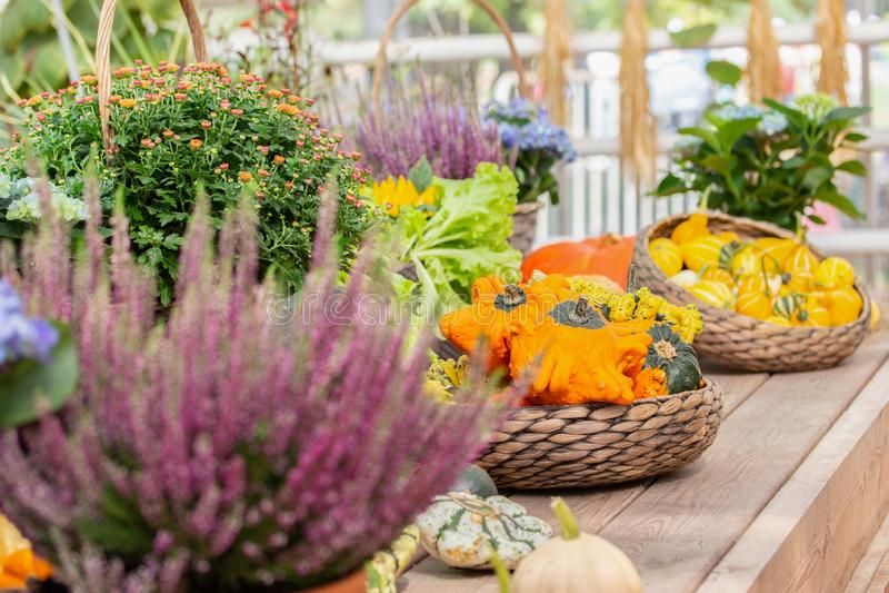 Garden still life, crown pumpkins and Klein bicolour on a wooden farm counter. Harvest Festival Halloween stock photography