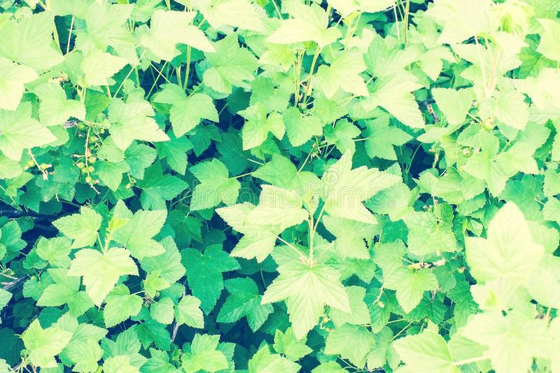 Garden, sun, June. Berry shrub, currant, green leaves. Sunny day, June, early summer. Toning, daylight stock photography