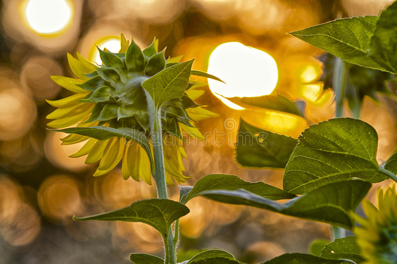 Garden of Sunflowers facing the morning Sunrise stock image