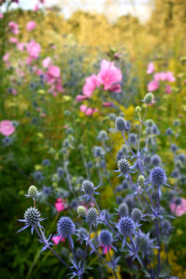 Garden: sunlit blue sea holly and pink hollyhock flowers stock images