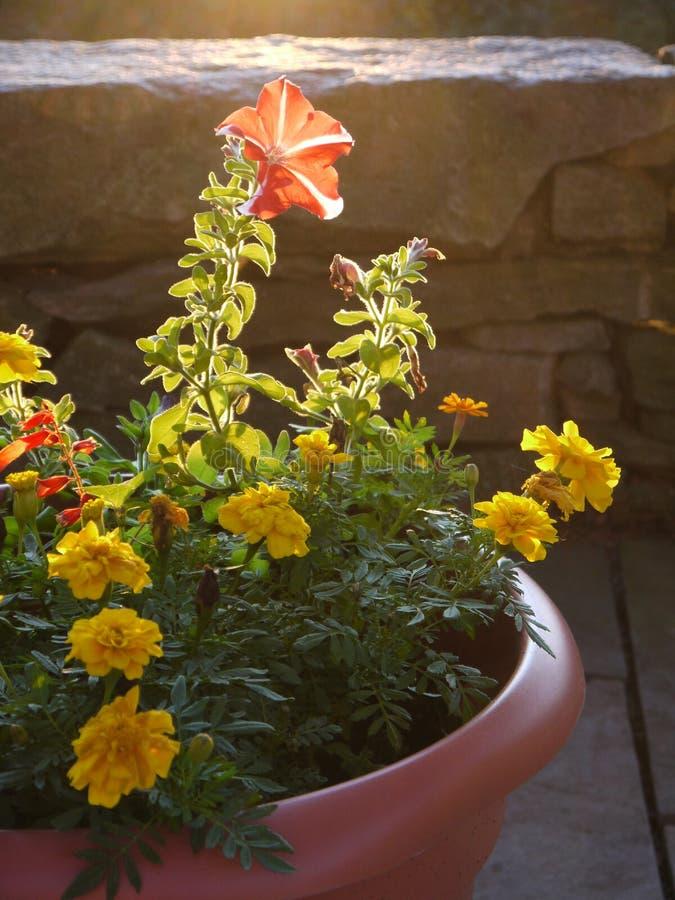 Garden: sunlit flowers in planter royalty free stock photos