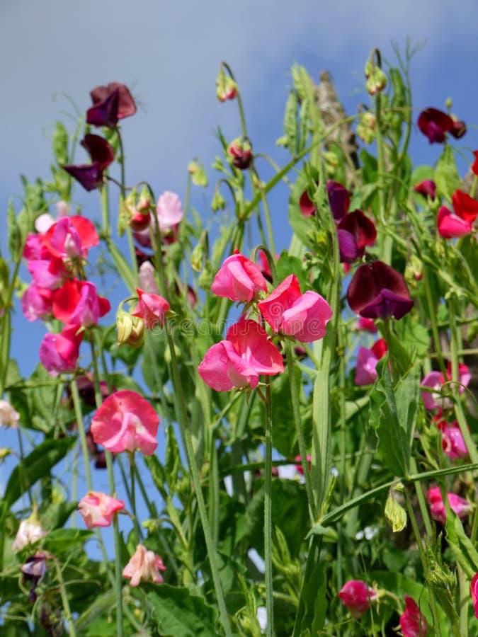 Garden: sweet pea flowers - v royalty free stock image