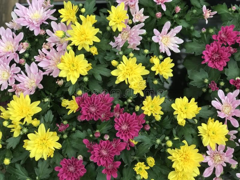 Garden of tiny colorfull flowers royalty free stock images