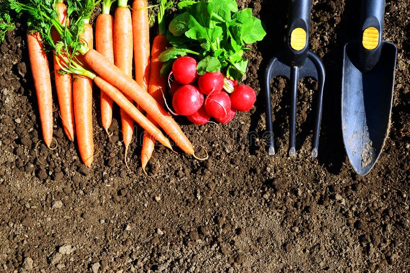 Garden tools, carrots and radish in soil. stock image