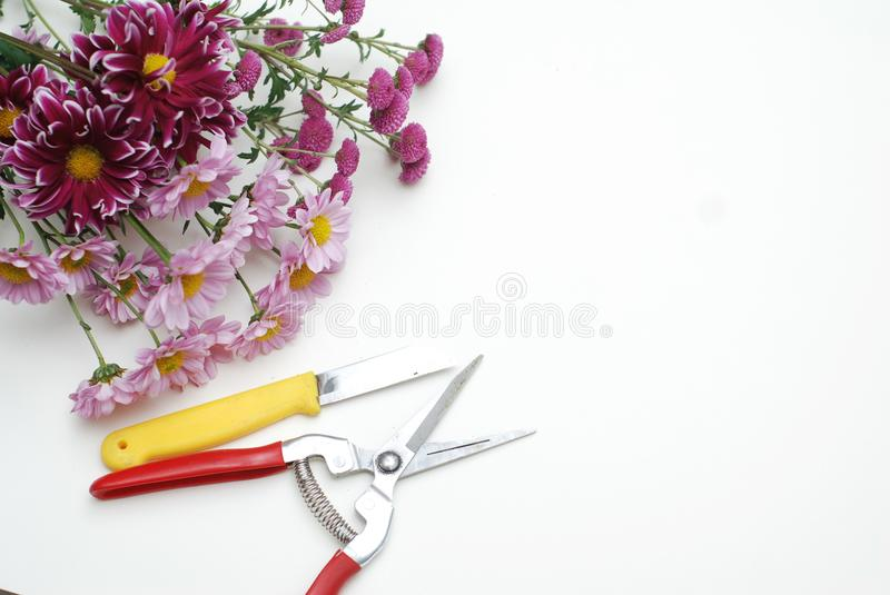 Garden Tools with Pink Crysanthemum Flowers on white background, with Copy Space, top view composing. Garden Tools with Pink Crysanthemum Flowers on stock image