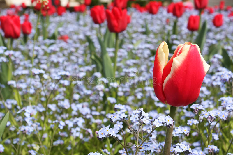 Garden tulip stock photography