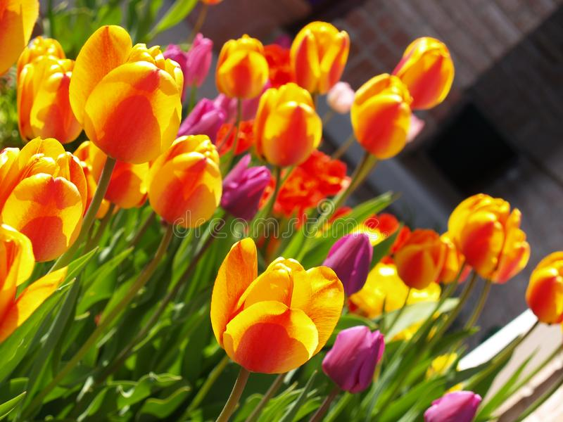 Garden of Tulips stock images