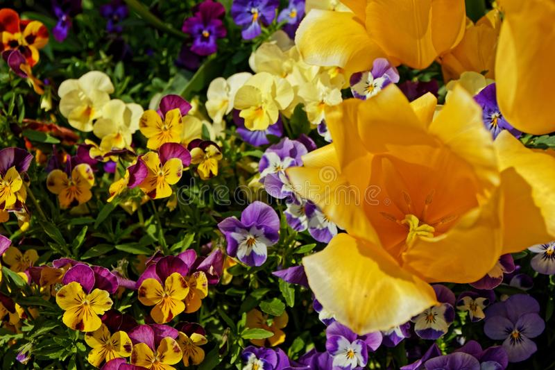 Some colorful tulip and viola flowers in springtime. Garden tulips and violas in a macro picture royalty free stock image