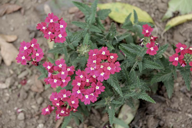 Download Garden Verbena   Glandularia × Hybrida, Formerly Verbena Hybrida  Stock Photo   Image Of
