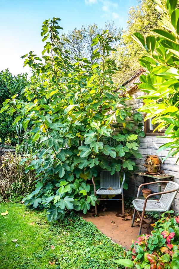 Garden view with sitting corner near the fig tree stock photo