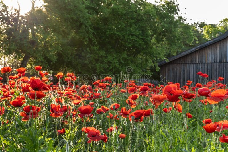 Garden of vivid red poppies in morning sunlight. And old rustic barn in the background stock images