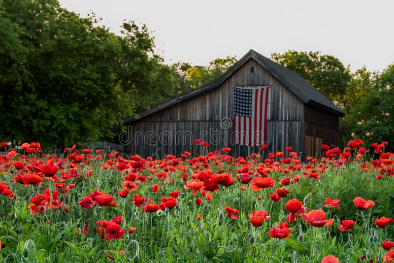 Garden of vivid red poppies. With old barn with us flag hanging in the background stock images