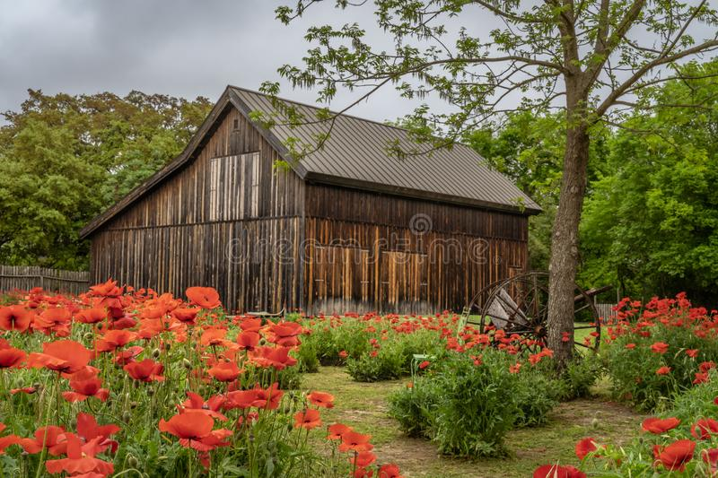 Garden of vivid red poppies with old rustic barn royalty free stock image